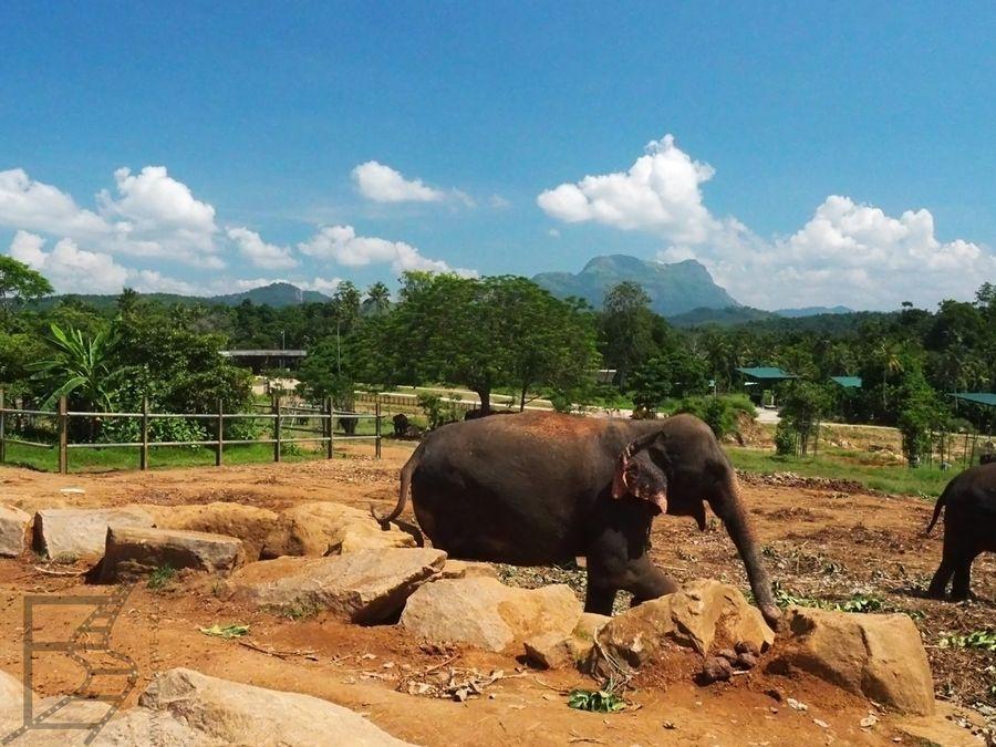 Słonie na wybiegu w sierocińcu Pinnawala