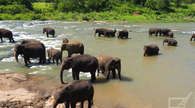 "Pinnawala Elephant Orphange, sierociniec dla słoni i ""Indiana Jones"""