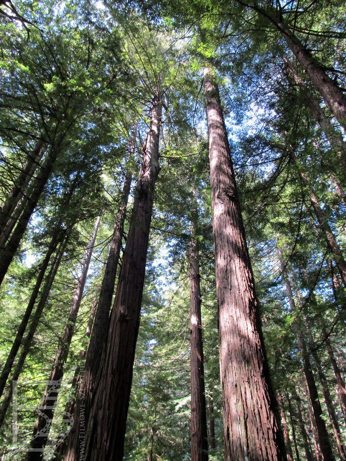 Sekwoje wiecznie zielone w Redwood