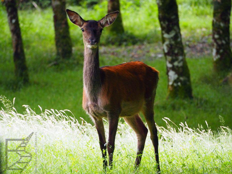 W parku występują jelenie