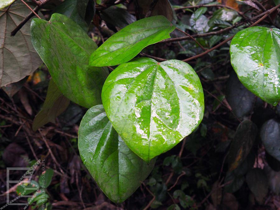 Roślinność w Sinharaja