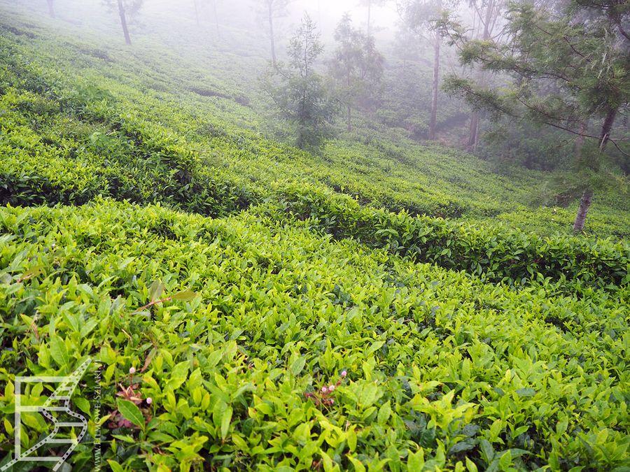 Pola herbaciane przy Lipton's Seat