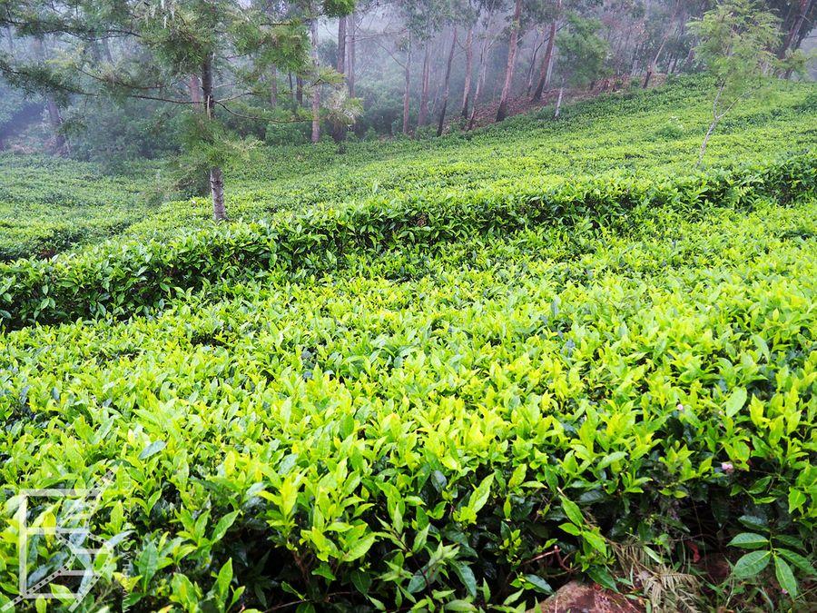 Pola herbaciane fabryki Dambatenne