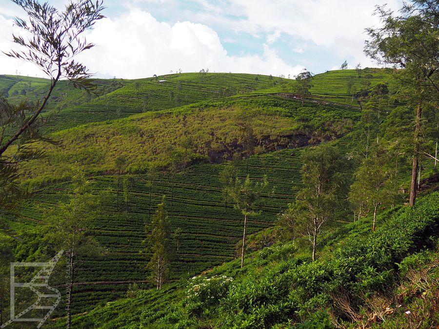 Malownicze wzgórza porośnięte herbatą.