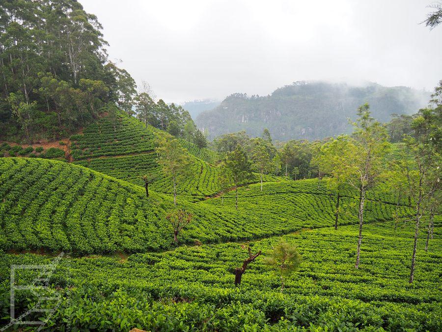 Plantacja herbaty Lipton's Seat