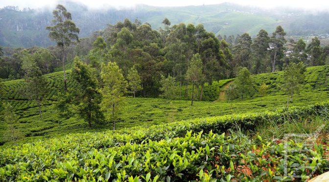 Lipton's Seat, najsłynniejsza plantacja herbaty Sri Lanki