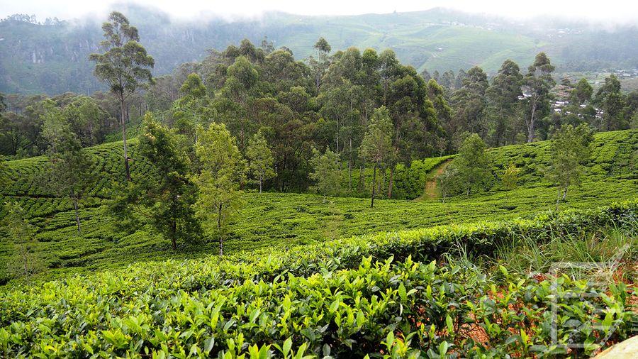 Pola herbaciane Dambatenne