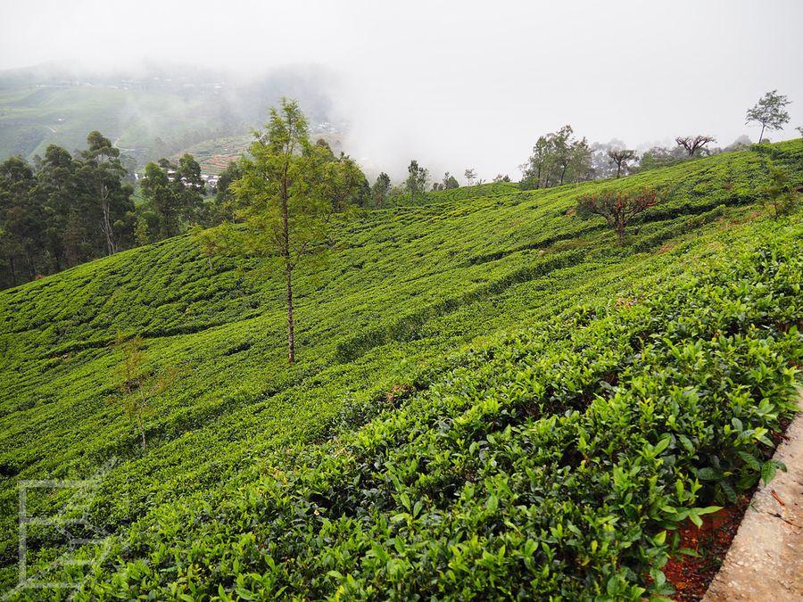 Pola herbaciane w Haputale
