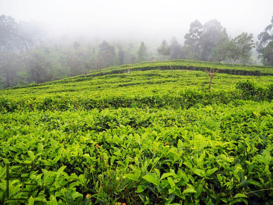 Dawna plantacja herbaty Lipton