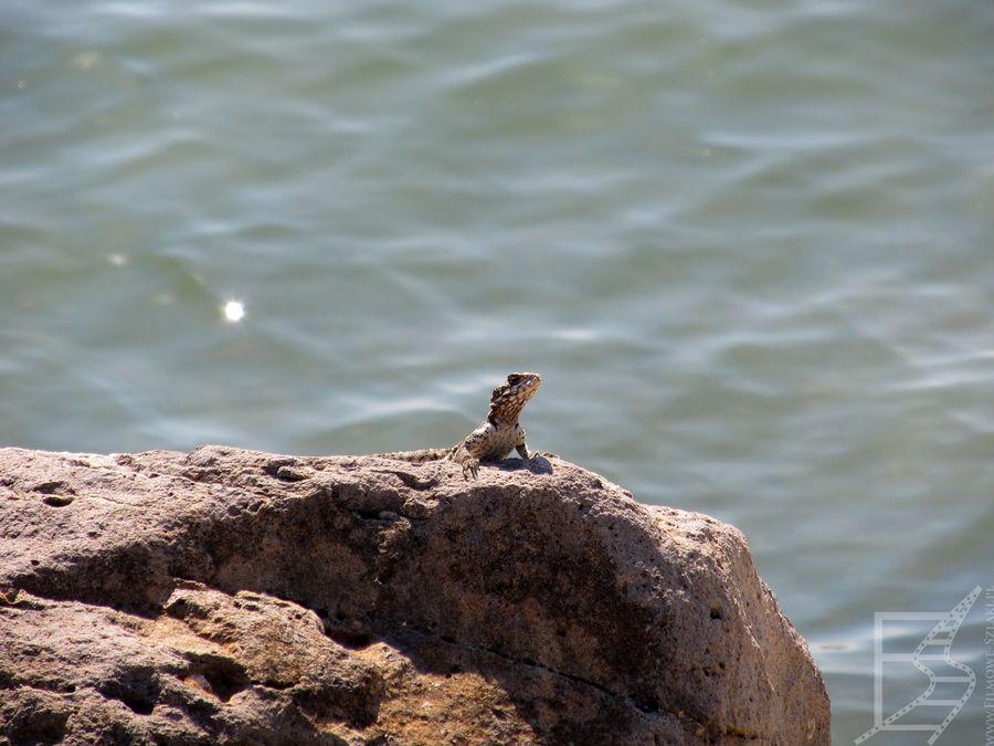 Jezioro Tyberiadzkie jest siedliskiem wielu zwierząt, ryb (w tym cefali czy tilapii), ptaków, żółwi czy jaszczurek jak Hardun (Stellagama stellio). Te jaszczurki dość powszechnie występują na Bliskim Wschodzie (np. Dżarasz), ale też na przykład na Korfu.