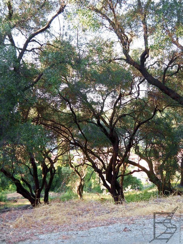 Gaje oliwne Korfu nieopodal Pagi