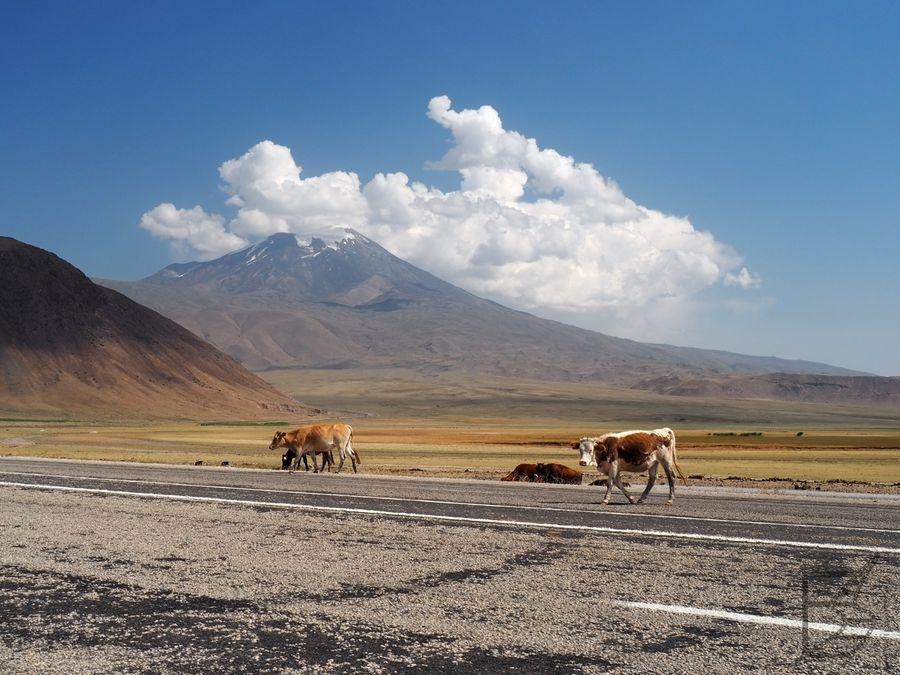 Krowy na tle Araratu
